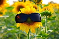 Sunflower with sunglasses. A funny sunflower wears sunglasses Stock Image
