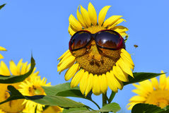 Sunflower and sunglasses Stock Images