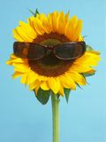 Sunflower with sunglasses Royalty Free Stock Photos