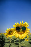 Sunflower sunglasses Royalty Free Stock Image
