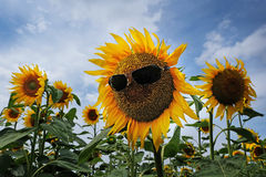Sunflower with sunglasses Royalty Free Stock Photography