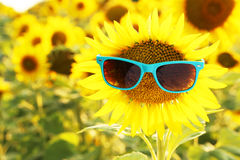 Sunflower with sunglasses Royalty Free Stock Images
