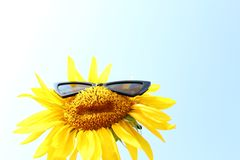 Sunflower with sunglasses in front of the blue sky. The picture shows a sunflower with sunglasses in front of the blue sky stock photos
