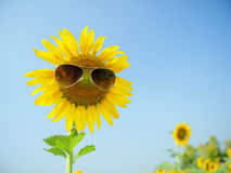 Sunflower with sunglasses. So funny royalty free stock photo