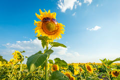 Sunflower with sunglasses Royalty Free Stock Photo