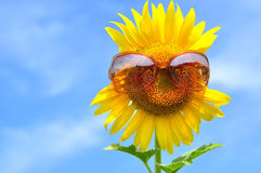 Sunflower with sunglasses Stock Images
