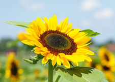 Sunflower in sunlight Royalty Free Stock Photos