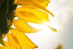 Sunflower with sunlight Stock Photo