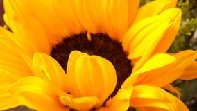 Sunflower. Sunlight, girasol, yellow, white Stock Photos