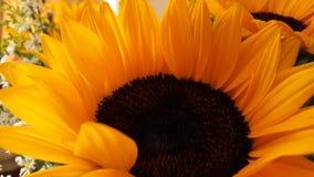 Sunflower. Sunlight, girasol, yellow, white Royalty Free Stock Photo
