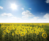 Sunflower in the sunlight time Royalty Free Stock Photo