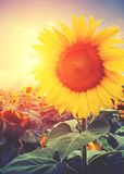 Sunflower with sunlight Royalty Free Stock Photography