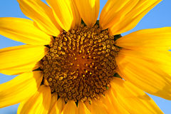 Sunflower on sunny day Stock Image