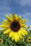 Sunflower. In sunny day. This is a big sun flower which blossom reveived solar Stock Photography