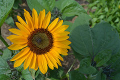 Sunflower on a Sunny Day Royalty Free Stock Photos