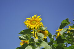 Sunflower. Sunny flower in the sunny day Royalty Free Stock Photos