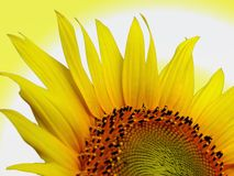 Sunflower sunrise Royalty Free Stock Photo