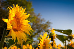 Sunflower and Sunrise. Sunflowers in the morning sunrise Royalty Free Stock Photos