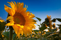 Sunflower and Sunrise Stock Images