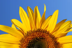 Sunflower Sunrise. Half segment of a flowering sunflower on a clear blue sky day Stock Photography
