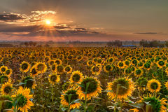 Sunflower sunrise Stock Image