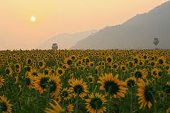Sunflower sunrise in the winter in Thailand Stock Photography
