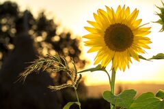 Sunflower during Sunset Stock Photography