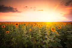 Sunflower on sunset Stock Image