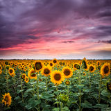 Sunflower on sunset Royalty Free Stock Image