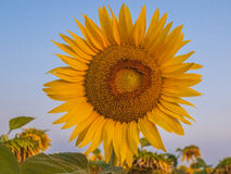 Sunflower at sunset Royalty Free Stock Image
