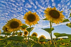 Sunflower. At sunset with cloudy sky Royalty Free Stock Photos