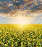 Sunflower and sunset in dramatic sky Royalty Free Stock Photography