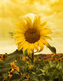 Sunflower sunset Stock Images