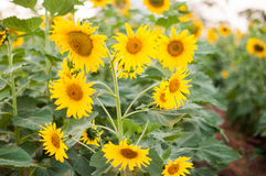 Sunflower sunset on the field bright sky Background royalty free stock image