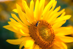 Sunflower in the sunset. Insect in sunflower field on the background at sunset Stock Images