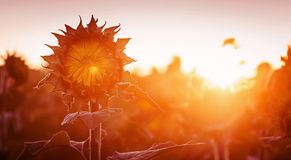 Sunflower at sunset. The light and the rays Stock Photography