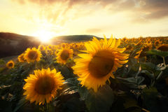 Sunflower sunset Royalty Free Stock Image