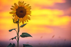 Sunflower, sunset shot Stock Images