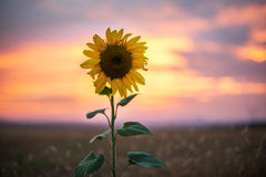 Sunflower, sunset shot Stock Photography