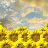 Sunflower with sunset sky Royalty Free Stock Images