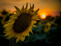 Sunflower in sunset. Sunflower stand in sunset and sun Royalty Free Stock Image
