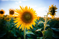 Sunflower in the sunset. Sunflower with the sun on the background a blue sky Royalty Free Stock Photo