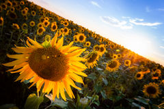Sunflower in the sunset. Sunflower with the sun on the background a blue sky Stock Photo
