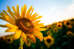 Sunflower in the sunset. Sunflower with the sun on the background a blue sky Stock Photos