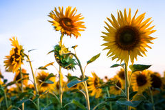Sunflower in the sunset. Sunflower with the sun on the background a blue sky Royalty Free Stock Photos