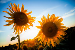 Sunflower in the sunset. Sunflower with the sun on the background a blue sky Royalty Free Stock Images