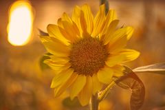 Sunflower at sunset time. Sunflower with reflex of the sun in background. royalty free stock photos