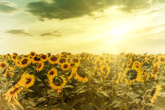 Sunflower on sunset Royalty Free Stock Photography