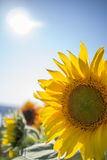Sunflower in the sunshine. A beautiful sunflower in the sunshine in summer Royalty Free Stock Photo