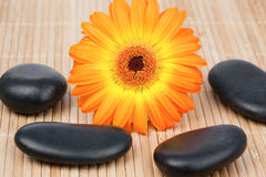 Sunflower surrounded by black stones Royalty Free Stock Photos